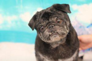 ぶぶちゃん|フォーチュンドッグ犬の幼稚園